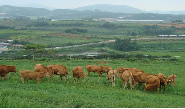 세포고기는 처음 한동안은 고급 레스토랑에서만 맛볼 수 있는 별미겠지만 결국은 동물복지에 민감한 사람들이나 서민들을 위한 차선책이 될 것이다. 다만 축산업에 구조조정을 불러와 밀집사육은 줄고 동물복지농장 비율이 늘어난 것이다. 고급 육류 시장은 여전히 동물고기의 몫이 될 거라는 말이다. 국내 동물복지농장의 모습이다. 전남도 제공