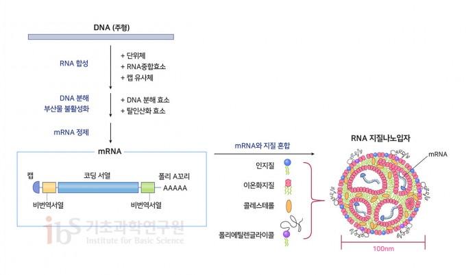 mRNA 백신의 구조와 제조 방법. mRNA는 단백질의 정보를 담은 코딩서열, 단백질 생산을 돕는 비번역서열, mRNA가 파괴되지 않도록 막는 캡 그리고 mRNA를 안정적으로 유지하는 폴리A꼬리로 구성된다. RNA를 세포 내로 전달하기 위해 지질과 폴리에틸렌글라이콜 등을 섞어서 나노입자를 만든다. [Verbeke et al., 2019; Linares-Fernández et al., 2019]