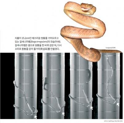이 뱀이 나무를 오르는 비법 '셀프 올가미'