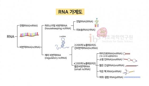 [IBS 코로나19 리포트 시즌2] 코로나19 키워드 'RNA'는 어떤 물질인가