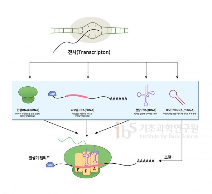 manage.dongascience.cDNA의 정보를 바탕으로 RNA가 합성(전사)된다. 이후 RNA는 복제된 정보를 세포 내 단백질 공장인 리보솜으로 가져가 단백질을 만든다(번역). 이 과정에는 다양한 종류의 RNA가 참여한다. IBS 제공