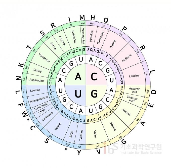 염기 세 개가 모여서 하나의 아미노산을 지정하는데, 이 염기 세트를 코돈이라고 부른다. 예를 들어, 별표 표시(*)가 있는 부분은 종결 코돈(Stop codon)이다. UAG나 UAA, UGA의 염기조합은 특정한 아미노산을 지정하지 않고 단백질 합성 과정이 끝났음을 알리는 신호로 기능한다. IBS 제공