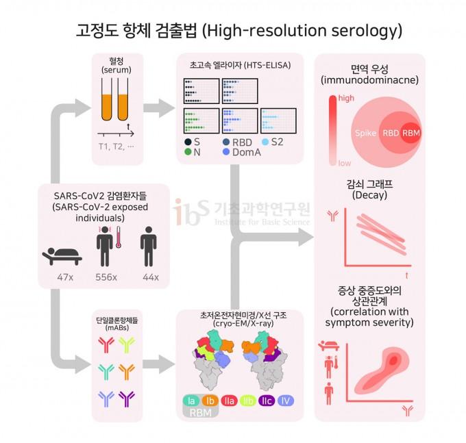 코로나19 환자로부터 항체를 발굴하여 항체치료제를 개발하는 과정. SARS-CoV2 감염 환자 환자들의 혈액을 초고속 엘라이자를 통해 중화항체를 발굴하고, 발굴된 단일클론항체의 구조를 초저온현미경법과 X선 결정법으로 밝혀낸다. 흥미롭게도 환자의 중증도가 심할수록, 바이러스를 이겨내기 위하여 RBD에 특정적으로 결합하는 많은 중화 항체들이 환자의 혈액에서 발견되었다. (출처 Piccoliet al., 2020]