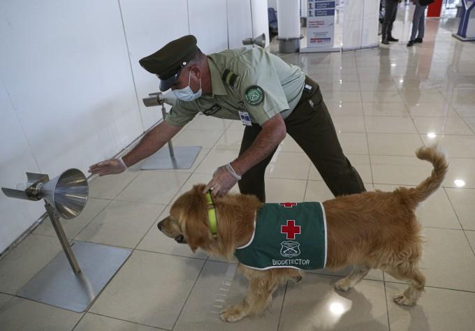 칠레 산티아고 국제공항에 배치된 ′코로나19 탐지견′이다. AP/연합뉴스 제공