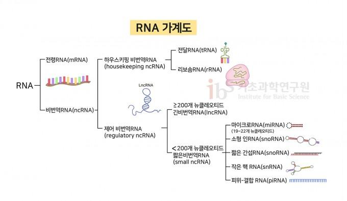 다양한 RNA의 종류. IBS 제공