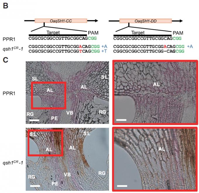 약 1만 년 전 누군가가 야생 벼에서 낟알이 흩어지지 않는 변이체를 발견해 선별한 게 작물화의 시작으로 보인다. 알타의 야생형(PPR1)은 낟알과 꽃자루(PE) 사이에 탈리층(AL)이 형성돼(현미경 사진 위) 낟알이 익으면 쉽게 떨어진다. 게놈편집기술로 야생 벼의 탈립성 관련 유전자(qSH1) 두 개(CC형과 DD형)를 고장내면 탈리층이 제대로 형성되지 않아(현미경 사진 아래) 재배 벼처럼 낟알이 익은 뒤에도 붙어있다. 셀 제공