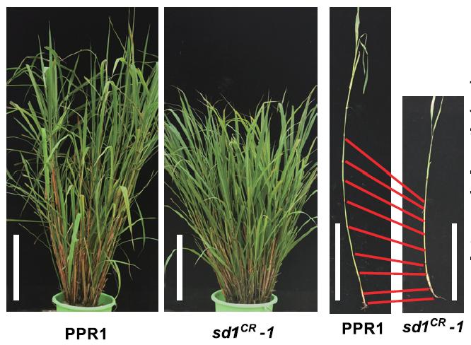 1960년대 녹색혁명에서 벼의 키가 작고 낟알이 많이 열리게 만드는 sd1 유전자 변이의 발견이 큰 역할을 했다. 게놈편집기술로 이 변이형을 알타 야생형(PPR1)에 도입하자 역시 키가 작아졌다(sd1CR-1). 이는 줄기 마디 사이의 길이가 짧아졌기 때문이다. 셀 제공