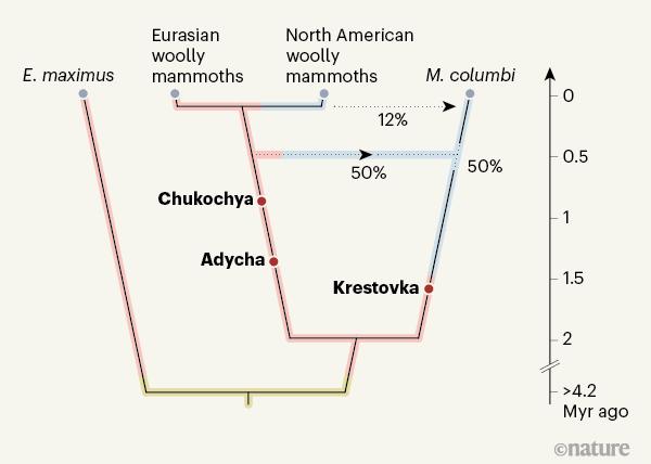 이번에 해독된 게놈을 바탕으로 구성한 매머드의 계통도다. 420만 년 전 아시아코끼리(E. maximus) 조상과 남부매머드가 갈라졌다. 남부 매머드는 약 200만 년 전 털매머드(wolly mammoth)와 크레스토프카 계통으로 진화했고 약 42만 년 전 이들 사이의 잡종 종분화로 컬럼비아매머드(M. columbi)가 등장했다. 그 뒤 약 10만 년 전 북미로 진출한 털매머드와 접촉하면서 핵 게놈의 12%가 바뀌었다. 오른쪽은 연대로 단위는 백만 년이다. 네이처 제공