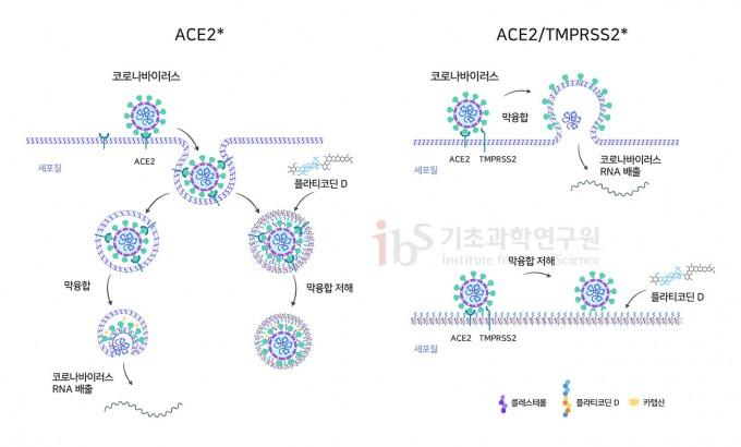 플라티코딘 D가 두 개의 상이한 사스코로나바이러스-2 진입 과정을 억제하는 메커니즘. 플라티코딘 D는 인체 세포 세포막에 끼어들어 사스코로나바이러스-2 외피와 엔도좀(왼쪽) 혹은 바이러스와 세포막(오른쪽) 간의 막 융합을 저해한다. IBS 제공