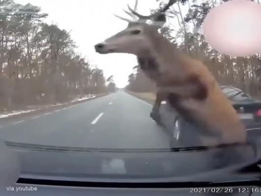 차 앞으로 뛰어든 사슴