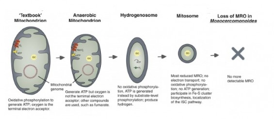 [강석기의 과학카페] 제2의 미토콘드리아 찾았나
