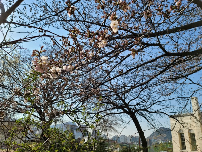 서울 종로루 서울기상관측소에서 벚꽃이 24일 개화했다. 관측 100년 사상 가장 빠르게 개화한 것으로 올 2~3월 평균 기온과 일조시간이 평년보다 크게 높은 탓으로 분석된다. 기상청 제공