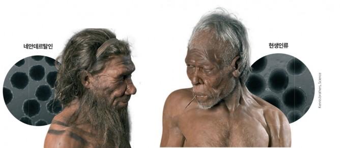 네안데르탈인의 유전자를 가진 뇌 오가노이드(왼쪽)는 현생인류의 뇌 오가노이드(오른쪽)에 비해 성장이 더디고 세포 표면의 주름이 깊게 나타났다. 사이언스 제공