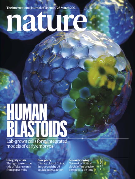 국제학술지 '네이처' 25일 표지 기사로 '인간 배반포 유사체' 연구가 선정됐다. 네이처 제공