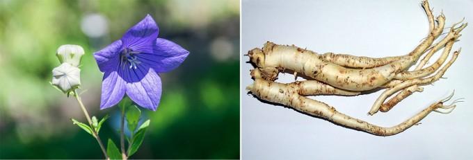 도라지 꽃(왼쪽)과 뿌리. 도라지는 초롱꽃과 도라지 속에 속하는 여러 해살이 풀로 길경으로도 불린다. 위키피디아 제공