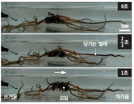 수조에 캘리포니아 검은벌레를 넣고 수조 왼쪽과 오른쪽의 온도를 달리하며 움직임을 관찰했다. 검은벌레는 차가운쪽으로 얽히며 이동했다. PNAS 제공