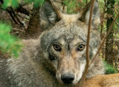 냄새조차 흘리지 않는 늑대의 사냥법