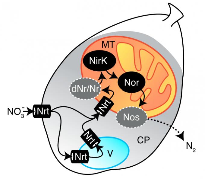 산소가 희박한 해저에서 질산염 호흡을 하는 유공충을 보고한 2018년 논문에서 제안한 메커니즘이다. 운반단백질(Nrt)을 통해 들어온 질산염이온(NO3-)은 액포(V)를 거쳐 미토콘드리아(MT)로 들어가 일련의 효소 작용으로 고에너지 전자를 받으며 환원된다. 최종산물인 질소(N2) 기체는 세포 밖으로 배출된다. 이 과정에서 산소 호흡에 버금가는 ATP가 만들어진다.  커런트 바이올로지 제공