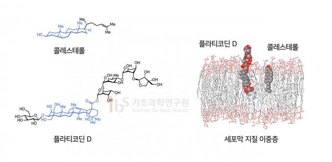 플라티코딘 D가 효과적으로 바이러스의 세포 침입을 차단할 수 있는 주요 요인은 세포막의 주요 구성물질은 콜레스테롤과 유사한 구조를 가졌기 때문이다(왼쪽). 오른쪽은 플라티코딘 D의 세포막 상에서의 위치를 예측한 모델링. IBS 제공