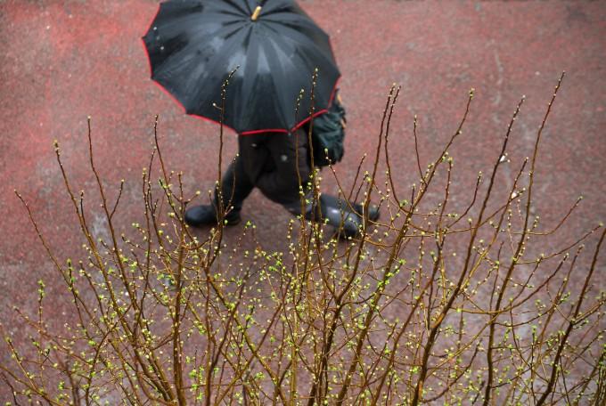 봄비 내리는 12일 오전 광주 서구 치평동의 거리의 나무에서 연둣빛 새순이 돋아나고 있다. 연합뉴스 제공