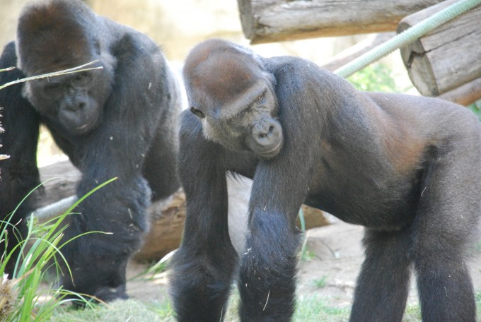 미국 샌디에이고 동물원의 고릴라. 지난 1월 샌디에이고 동물원 고릴라들이 영장류 가운데 처음으로 신종 코로나바이러스 감염증(코로나19) 확진 판정을 받았다. 위키피디어 제공
