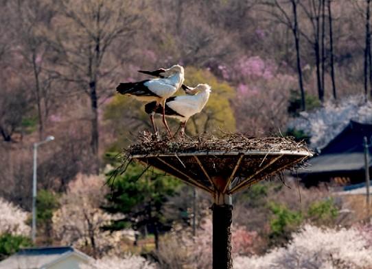 황새 부부가 둥지탑 위에 서 있다. 봄이 찾아오면 황새 부부는 알을 낳아 기른다. 새끼 황새들은 7월이 되면 독립해 둥지를 떠난다. 김경선 제공