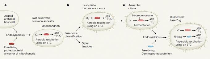 스위스 추크호수의 섬모충과 공생체(실리아티콜라)가 나오기까지 지난 20억 년의 진화를 도식화한 그림이다. 아스가스 고세균이 산소 호흡 박테리아를 포획하면서 역사가 시작됐고 에너지를 담당하는 세포소기관(미토콘드리아)으로 바뀌면서 진핵생물이 등장했다(a). 진핵생물의 여러 갈래 가운데 하나인 섬모충(ciliate)이(b) 무산소 환경으로 진출하면서 미토콘드리아가 하이드로게노좀으로 퇴화해 발효로 에너지를 얻으며 근근이 살아가다 질산염 호흡을 하는 박테리아(gammaproteobactrium)를 만나 공생하면서 무산소 호흡 능력을 획득했다(c). 네이처 제공