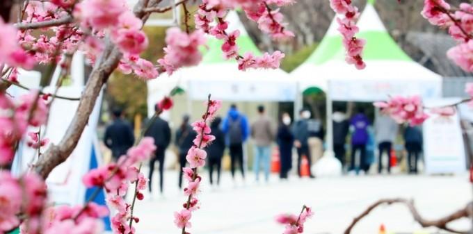 매화가 만개한 대구 중구 국채보상운동 기념공원에서 휴일임에도 많은 시민이 임시 선별진료소를 찾아 신종 코로나바이러스 감염증(코로나19) 검사를 받고 있다. 연합뉴스 제공