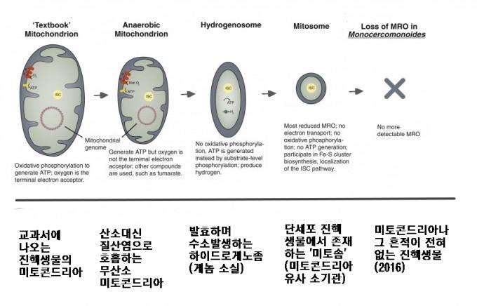 산소 호흡을 담당하는 세포소기관 미토콘드리아(맨 왼쪽)는 산소가 희박한 환경을 택한 진핵생물에서 퇴화의 길로 접어들었다. 첫 단계는 무산소 미코콘드리아로 산소 대신 푸마르산염이나 질산염을 이용해 호흡한다. 다음은 하이드로게노좀으로 발효를 하며 수소를 발생시키고 대체로 자체 게놈도 소실된 상태다. 여기서 더 퇴화한 게 미토좀으로 더이상 ATP를 만들지 못한다. 2016년에는 이마저도 없는 진핵생물이 발견됐다(맨 오른쪽). '커런트 바이올로지' 제공