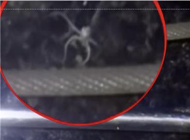 거미 불가사리. 크기는 2cm 정도로 작다. 극지연 제공