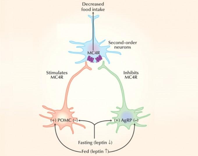 시상하부 실방핵(PVH)에 있는 MC4R뉴런은 물림 신호를 전달해 음식을 그만 먹게 한다. 배가 부르면 렙틴 수치가 올라가며 POMC뉴런이 α-MSH를 내놓아 MC4R뉴런을 자극한다. 반면 배가 고프면 렙틴 수치가 내려가며 AgRP뉴런이 AgRP를 분비해 MC4R뉴런을 억제해 식욕이 생기고 에너지를 보존하는 쪽으로 대사가 맞춰진다. 한 수용체가 자극 신호와 억제 신호를 받아 뉴런의 활성이 조절되는 건 드문 현상으로, 몸 상태에 따른 실시간 식욕 조절이 생존에 중요하다는 뜻이다. 네이처의학 제공