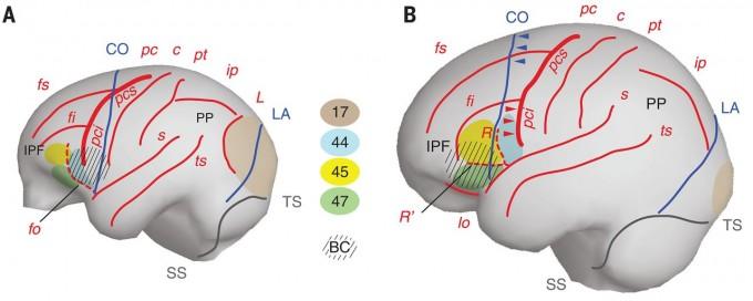 대형 유인원의 뇌(왼쪽)와 사람(현생인류)의 뇌(오른쪽)는 크기뿐 아니라 형태(각 구조의 공간 관계)도 다르다. 특히 브로카영역(BC)의 차이가 두드러지고 아래쪽 중심앞고랑(pci)이 관상봉합(CO)을 교차했는가 여부도 다르다. 유인원에서 후두엽과 두정엽의 경계인 초승달고랑(L)도 사람에서는 안 보인다. 사이언스 제공