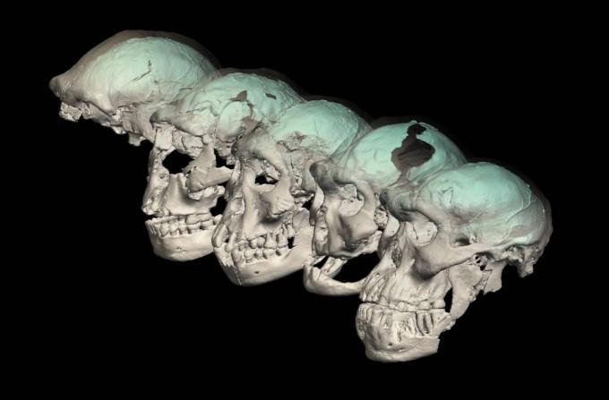 2000년대 초 서아시아 조지아의 드마니시에서 약 180만 년 전 호모속 인류의 두개골 화석 다섯 점이 잇달아 보고되면서 주목을 받았다. 최근 이들의 두개골 내부 표면을 정밀하게 분석해 뇌 표면 형태를 추측한 결과 현생인류보다 유인원에 가깝다는 사실이 밝혀졌다. 취히리대 제공