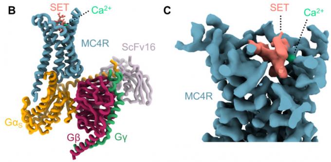 식욕 억제 신호를 전달하는 MC4R뉴런의 수용체(MC4R)에 달라붙어 뉴런을 활성화하는 약물 세트멜라노타이드(SET)가 비만 치료제로 지난해 11월 미 식품의약국의 승인을 받았다. 최근 SET가 달라붙어 활성화된 MC4R가 G단백질과 결합한 상태의 구조가 밝혀졌다. 오른쪽은 SET가 달라붙은 영역의 클로즈업이다. 사이언스 제공