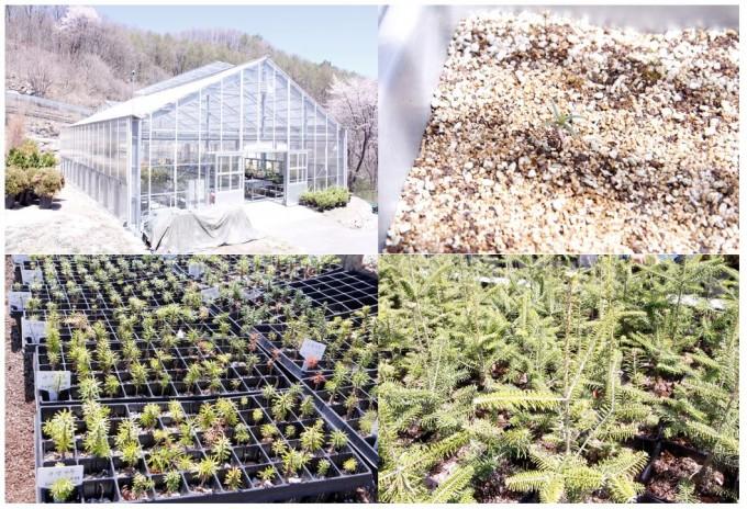 금원산산림자원관리소에서 양묘되고 있는 구상나무들. 거창=고재원 기자 jawon1212@donga.com
