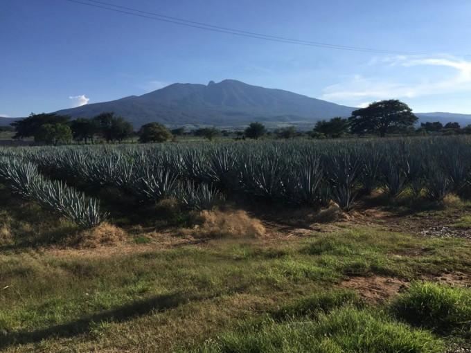 멕시코 지역에서 자라나고 있는 선인장의 한 종류인 ′블루 아가베′. 테킬라의 원료가 된다. 악셀스페이스 제공