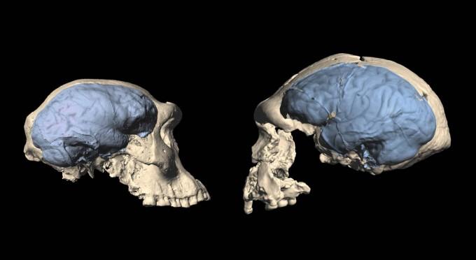 180만 년 전 서아시아에 살았던 드마니시인은 동아시아 호모 에렉투스의 조상으로 여겨졌다. 그러나 최근 연구결과 드마니시인이 아니라 170만~150만 년 전 아프리카에서 진화한 현대적인 뇌 형태를 지닌 호모 에렉투스가 유라시아로 진출해 동아시아에 이른 것으로 보인다. 드마니시인(왼쪽)과 동아시아 호모 에렉투스(오른쪽)의 뇌를 비교한 이미지다. 취히리대 제공