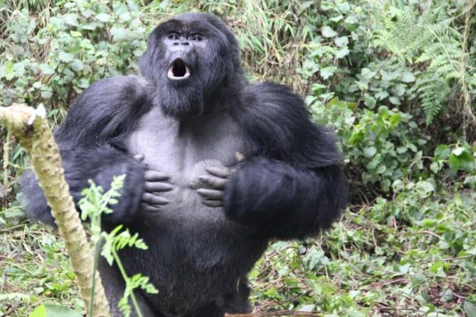 가슴 치는 수컷 고릴라. Dian Fossey Gorilla Fund 제공