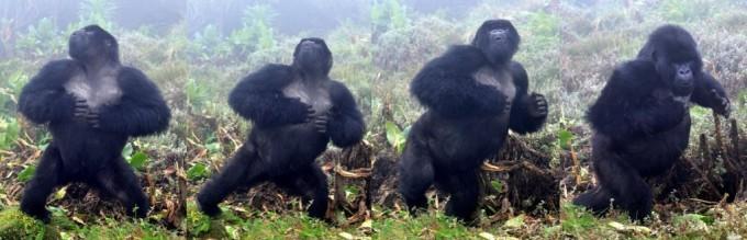가슴 치는 수컷 고릴라. Jordi Galbany / Dian Fossey Gorilla Fund 제공
