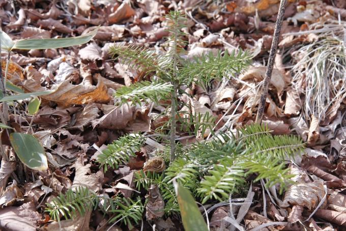 [르포]기후변화로 멸종위기 맞은 '구상나무', 유전자 관리로 제2 전성기 꿈꾼다