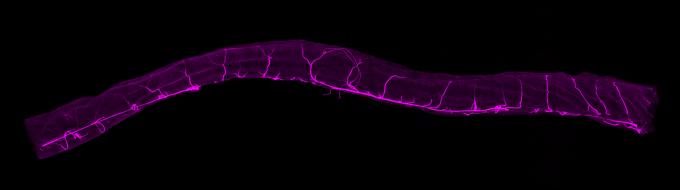 생쥐 장벽의 혈관 네트워크를 보여주는 현미경 이미지다. 특히 직장에는 혈관이 조밀하게 분포하기 때문에 장내 산소 농도가 높을 경우 기체교환이 꽤 효율적으로 일어나 장호흡이 가능하다.  도쿄의대 제공