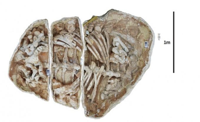 서울대 연구팀이 2008년 몽골 고비사막에서 발굴한 갑옷공룡 화석을 해부학적으로 분석해 갑옷공룡이 땅을 파는 습성이 있었을 것이라는 가설의 증거를 제시했다. 서울대 제공