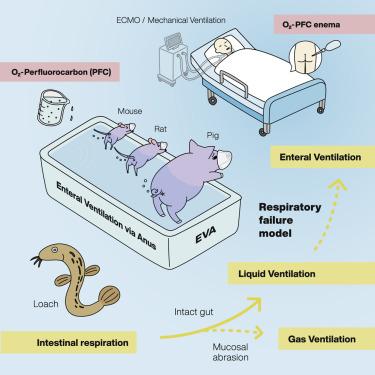 최근 일본과 미국 공동연구자들은 미꾸리의 장호흡에서 영감을 받아 이를 흉내낸 실험을 한 결과 포유류에서도 장호흡이 일어날 수 있음을 확인했다. 사람에서도 가능하다면 인공호흡기를 대신할 수 있는 치료법이 될 수도 있다. ′메드′ 제공