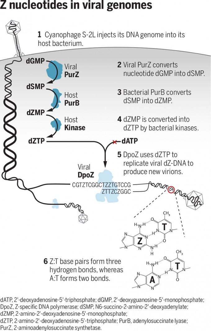 시아노파지 S-2L을 비롯한 몇몇 바이러스의 게놈은 아데닌(A) 대신 2-아미노아데신(Z)을 쓴 dZ-DNA로 이뤄져 있다. 최근 이들 바이러스 게놈의 PurZ 유전자와 DpoZ 유전자가 dGMP에서 dZTP을 만드는 과정과 게놈복제 과정에 관여하는 효소로 밝혀졌다. dZ-DNA의 ZT 염기쌍은 수소결합(점선) 3개로 이뤄져 있다. 사이언스 제공