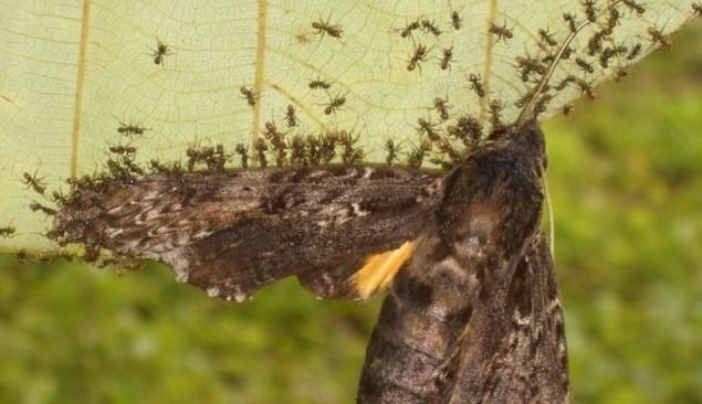 개미들이 나방에 일제히 달려들어 포획하는 모습. 플로스원 제공