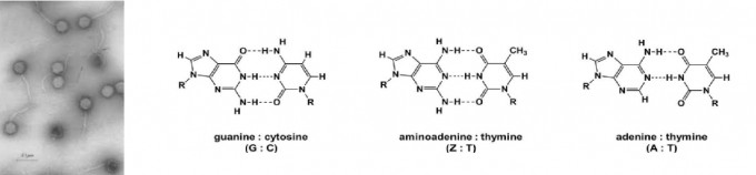 시아노박테리아를 숙주로 삼는 바이러스인 시아노파지 S-2L의 전자현미경 이미지다(왼쪽).  시아노파지 S-2L의 게놈 DNA는 ZTCG로 이뤄져 있다. Z는 A와 비슷한 분자이지만 ZT 염기쌍은 수소결합(점선) 3개로 이뤄져 열역학적 특성은 2개인 AT 염기쌍보다 역시 3개인 GC 염기쌍에 더 가깝다(오른쪽).  바이러스학/사이언스 제공