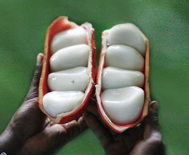코카 열매. AGRIPO/위키피디아 제공
