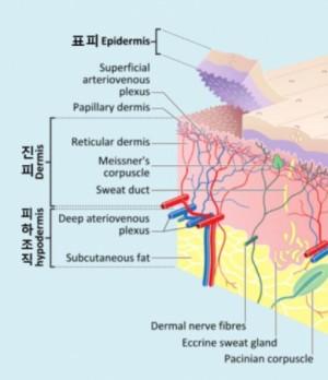 피부는 표피(epidermis)와 진피(dermis), 피하조직(hypodermis)으로 이뤄져 있다. 표피만 손상되면 깨끗하게 낫지만 진피까지 다치면 회복 과정에서 흉터가 남는다. 위키피디아 제공
