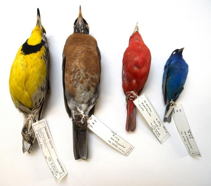미국 시카고 매코믹 플레이스에 부딪혀 죽은 새들이다. 필드박물관 제공