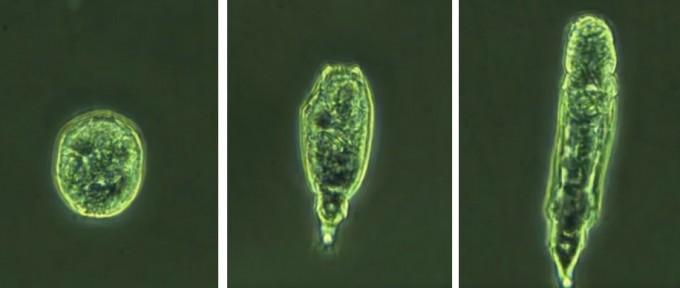 2만4000년 된 러시아 영구동토층에서 꽁꽁 언 상태로 발견된 담륜충이 해동 뒤 살아 움직이고 있다. 러시아 연구진은 이 담륜충이 무성생식에도 성공했다고 밝혔다. 커런트 바이올로지 제공